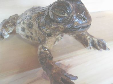American Toad - Day 13